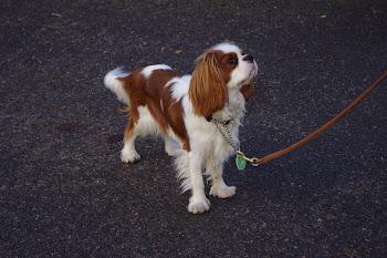 risiiniöljy koiralle