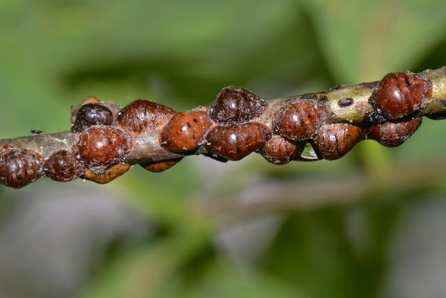 oak lecanium scale insects