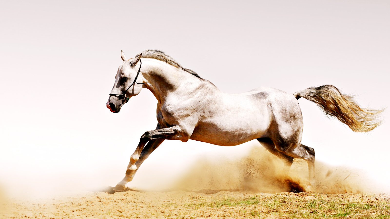 Fantastic   Wallpaper Horse Glitter - White_Horse_in_Dust_HD_Wallpaper-Vvallpaper  Pictures_494189.jpg