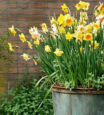 Il giardino sfumato marzo mese di bulbi for Bulbi narcisi