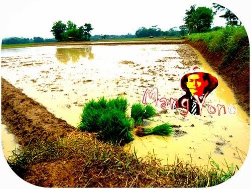 Musim tanam padi telah tiba di Pagaden Barat