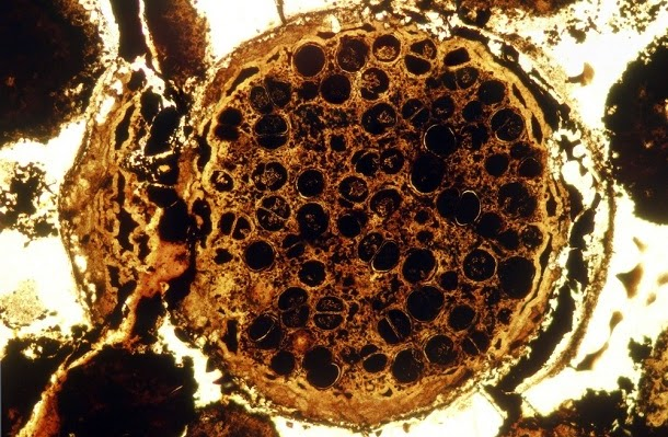 Como evoluiu a vida multicelular?