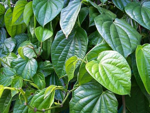 ramuan daun sirih obati keputihan