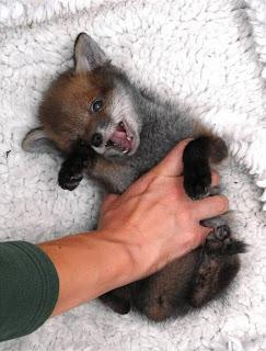 Baby Fuchs
