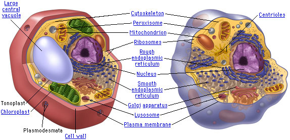 Sarahs Biology Blog Plant Cell Vs Animal Cell Diagram