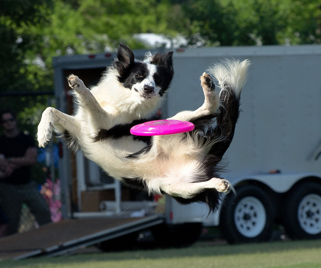 Training Your Dog To Play Frisbee