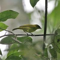Foto dan gambar Burung Pleci kacamata