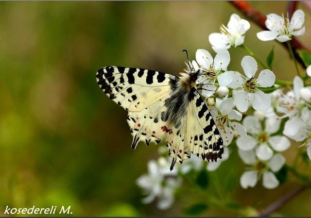 orman fisto kelebeğinden bir fotoğraf