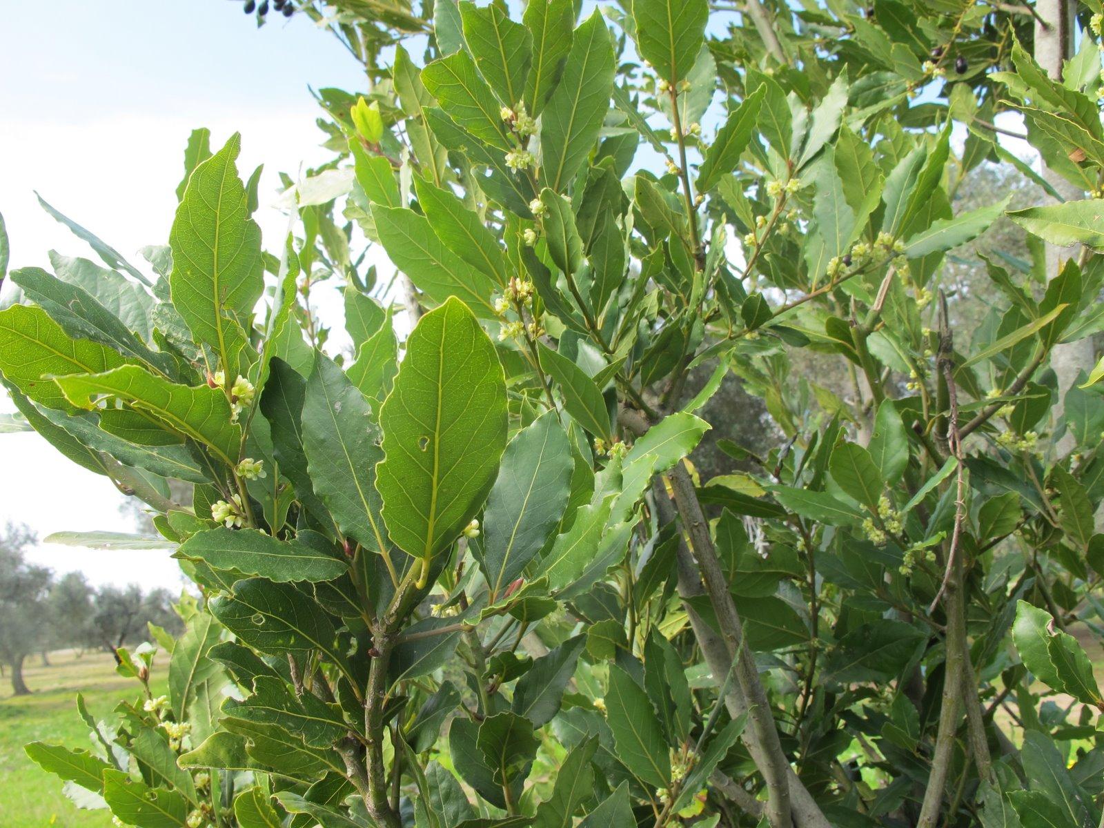Flora nel salento e anche altrove laurus nobilis l for Pianta di alloro