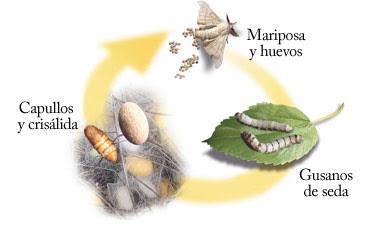 vida gusano seda: