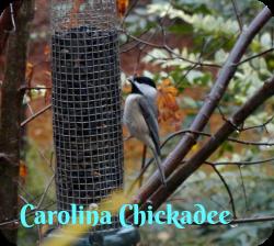 Carolina Chickadee