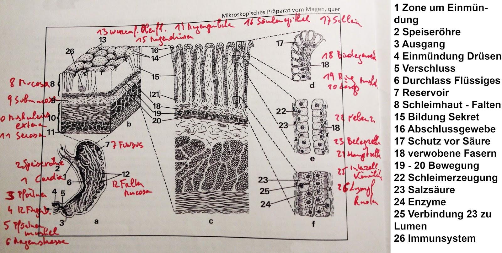 Auftrag 8 - Mikroskopische Darstellung und Funktion der ...