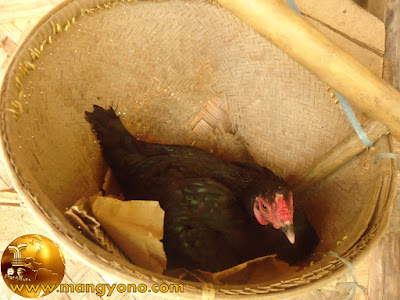 Proses menetasnya telur ayam dengan indukan