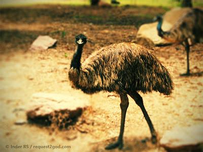 Birds, Emus