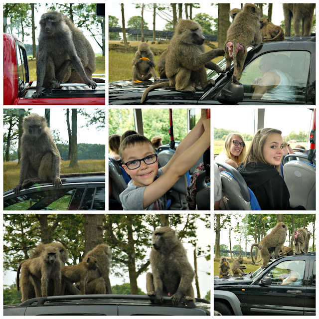 zoo, monkeys, baboons