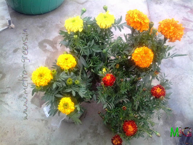 Metro Greens: Marigold plants