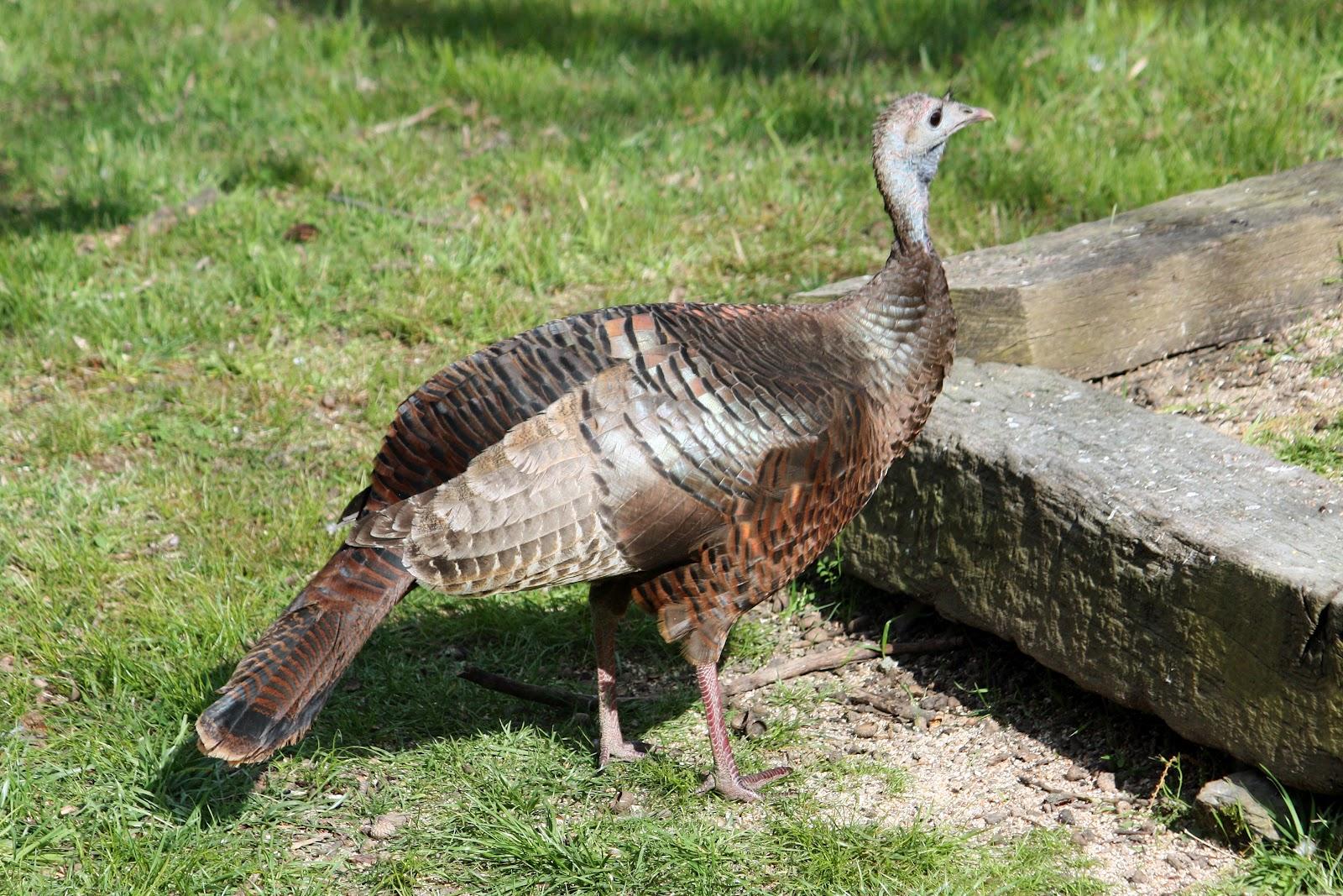 Round the bend wild bird wednesday turkey hen wild bird wednesday turkey hen publicscrutiny Choice Image