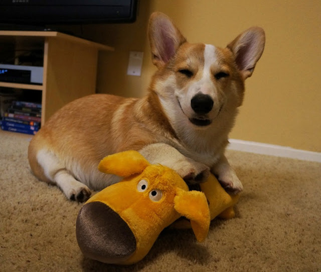 Meet Corgnelius the cutest corgi on the internet, Corgnelius, cute corgi pictures, dog photos