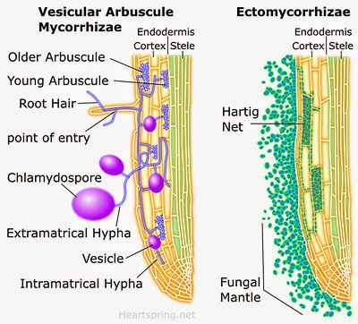 compare and ectomycorrhizal to an endomycorrhizae relationship