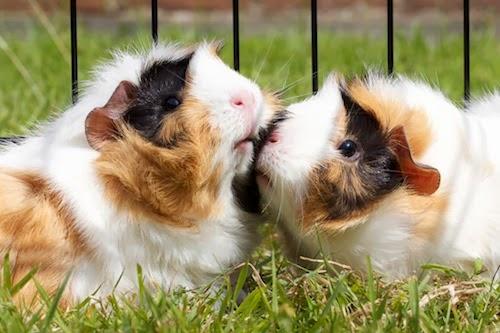 fotos animais adoráveis fofos se beijando beijo romântico Porquinhos-da-índia