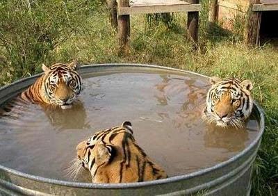 foto-trio-macan-sedang-mandi-tanpa-sensor