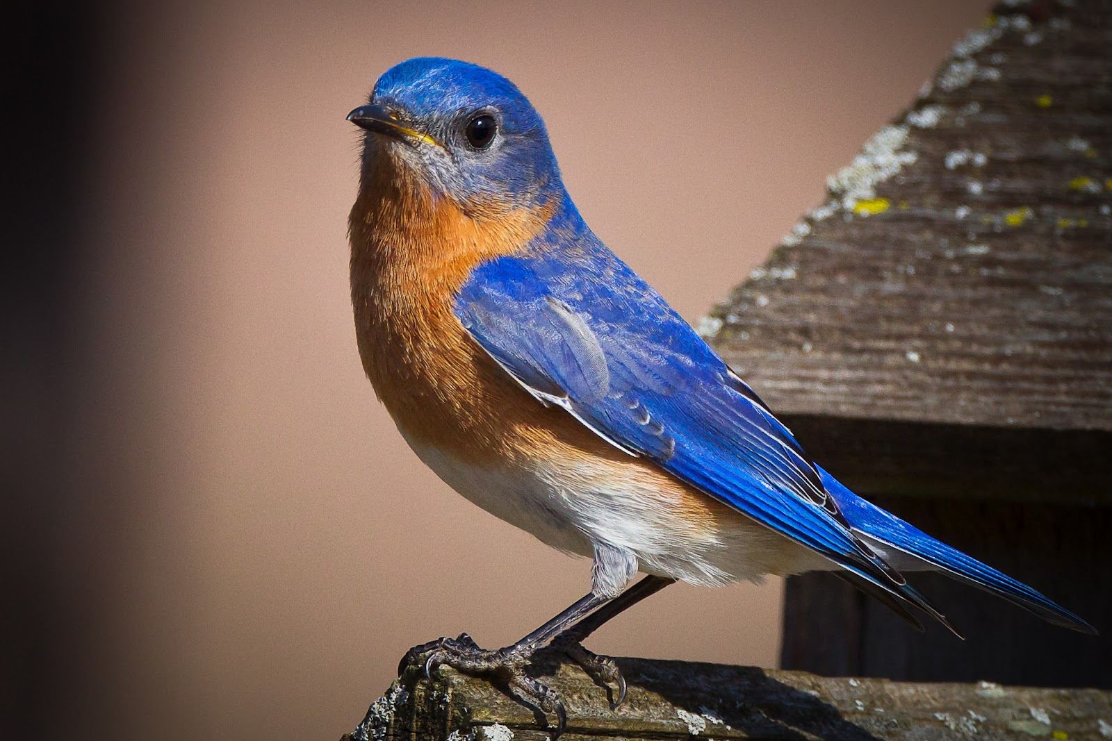 Blue bird - photo#4
