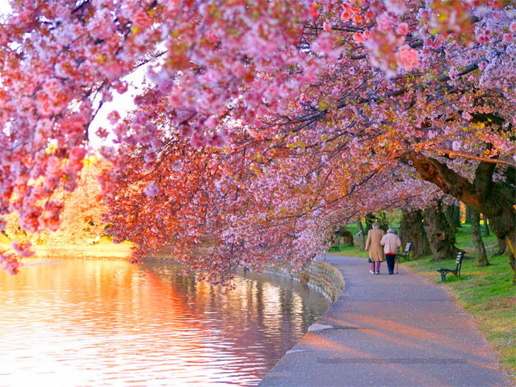 Beautiful wallpapers for desktop cherry blossom wallpapers hd Cherry blossom pictures