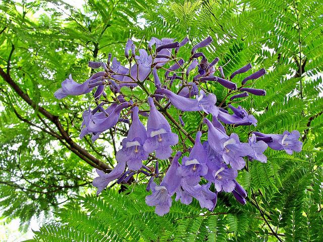 Q 39 planta essa jacarand ou caroba for Planta ornamental jacaranda