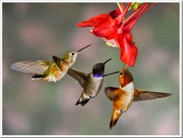Os beija-flores