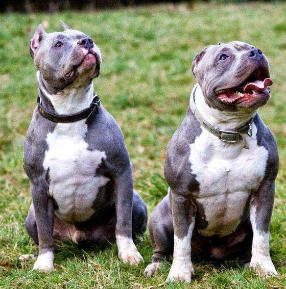 pitbull kosova the blue nose
