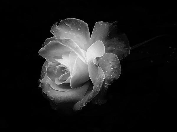 Poesía - Página 2 Rosa-blanca+BLOG