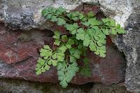 Kövi fodorka (Asplenium ruta-muraria)