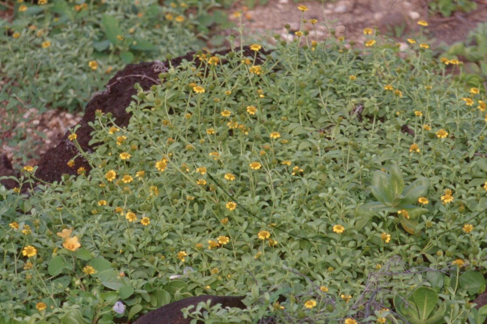 Nehe Melanthera Integrifolia Hawaii Horticulture