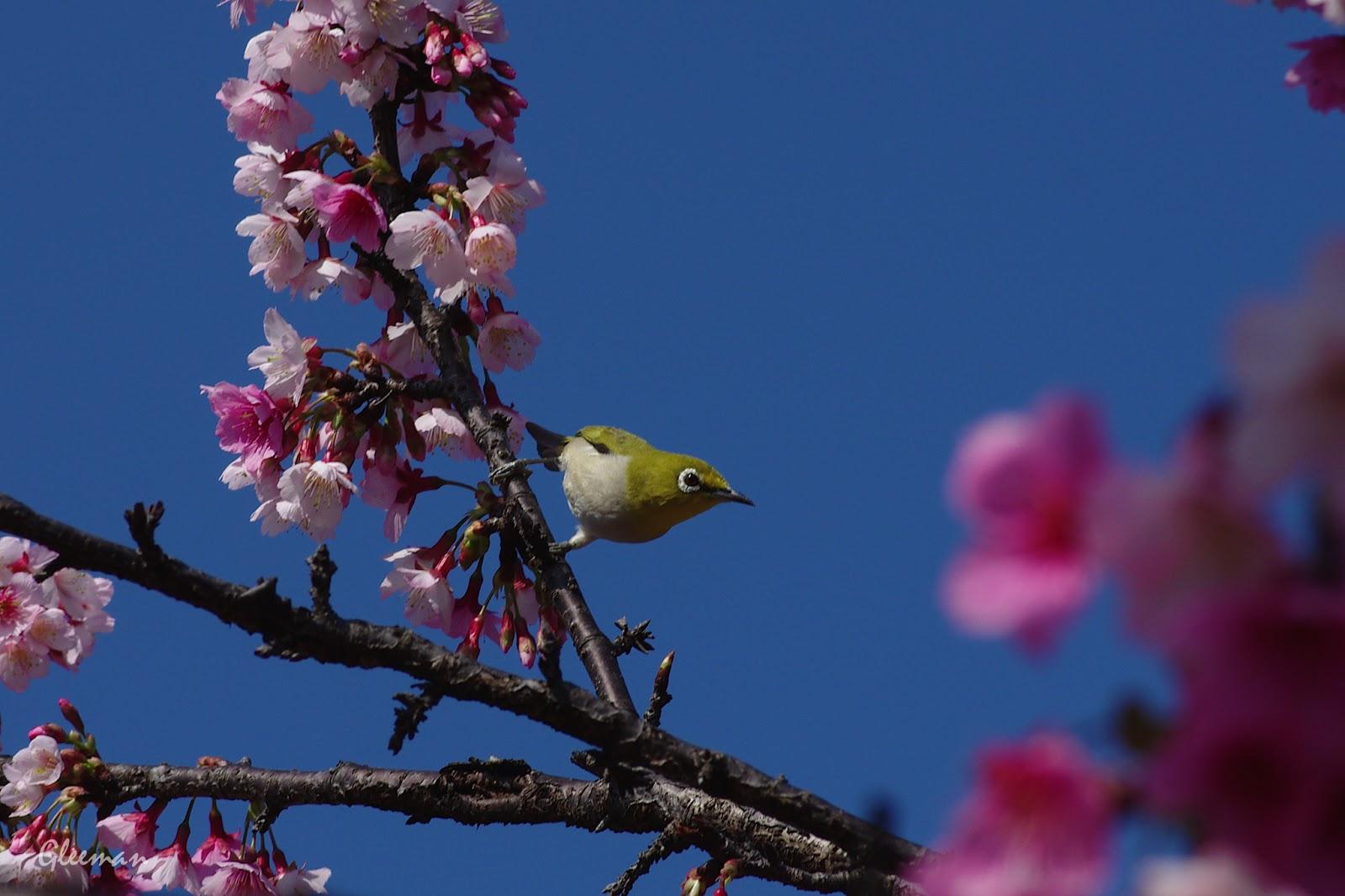 雞南山腳的美麗櫻花。與綠繡眼。