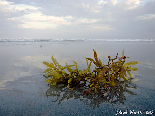 ocean kelp, seaweed, wash up on shore, waves