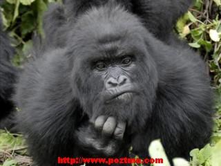 binatang terkuat di dunia - gorila