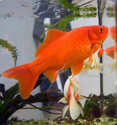 معلومات خاطئه ذاكرة السمكة الذهبية تكفي لثلاث ثوان