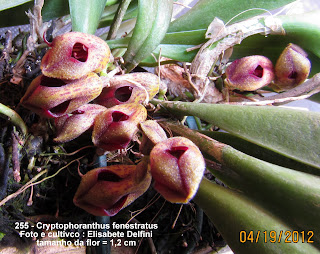 Cryptophoranthus fenestratus do blogdabeteorquideas