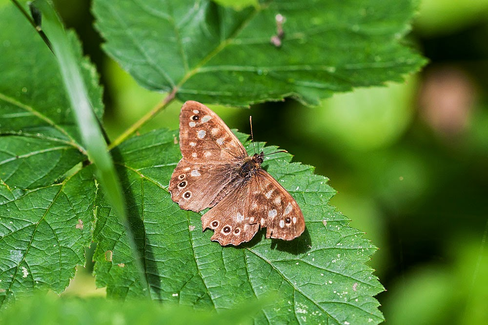 Speckled Wood - Linford Wood, Milton Keynes (2011)
