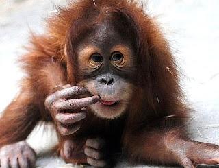 Orangotango com dedo na boca para tirar foto (filhote)