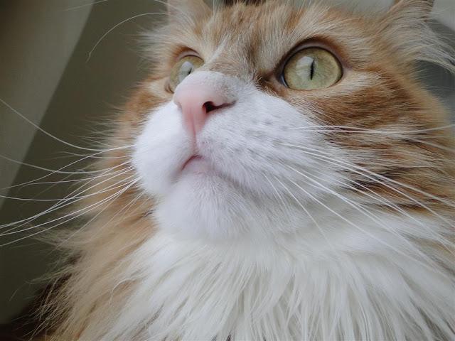 Murchyk cat