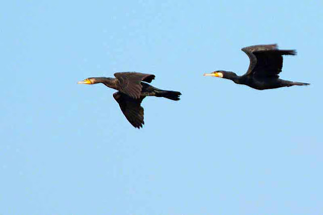 cormorants in flight, blue skies, birds