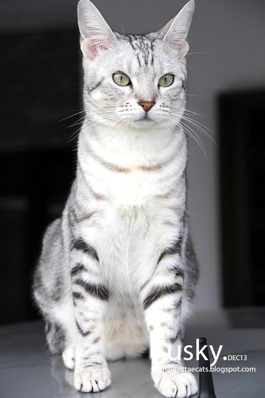 White Tiger House Cat