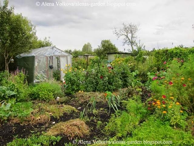 аленин сад, часть3, до, после, участок, дача, освоение участка, целина, сад, огород, грядки, мульча, георгины, органическое земледелие