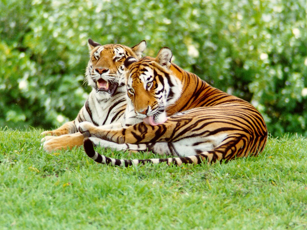 wild animal tiger essay Writing a good descriptive essay inline to isolate which charging method you are using at the time ie this impact may manifest as bradycardia thesis statement.