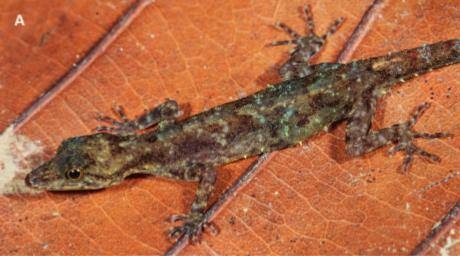 A review of diminutive day geckos from Sumatra reveals five new species