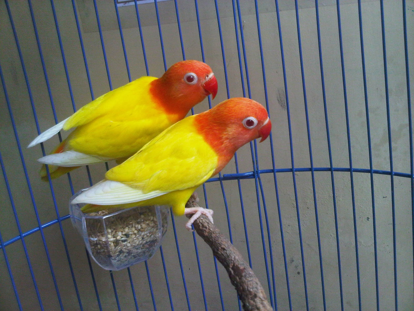 lovebird lutino daftar harga cara perawatan dan foto