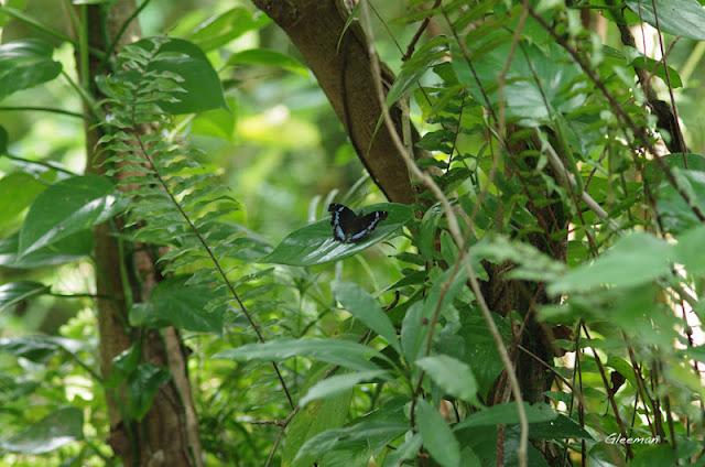 雞南山散步,琉璃蛺蝶