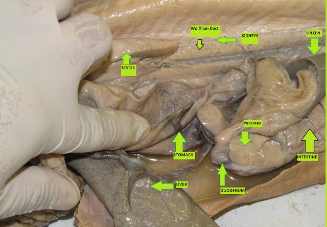 Bio 324 Vert Zoo CSULB: DogFish Shark Dissection