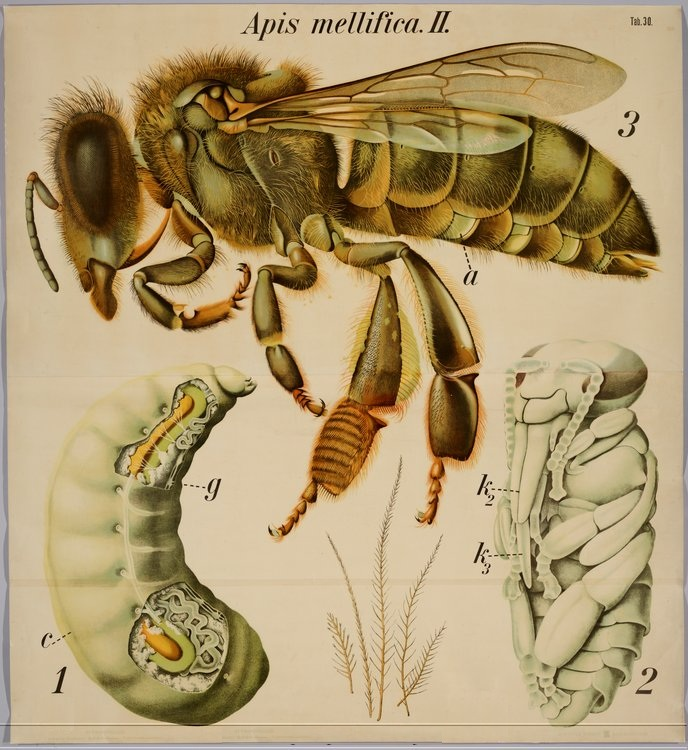 Apis+mellifica old insect diagram free wiring diagram for you \u2022